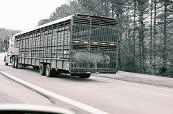 ЕС ужесточает правила импорта живых свиней из Канады и США