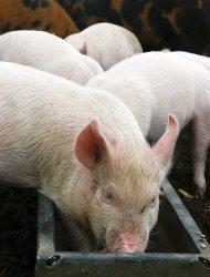 Насекомые - как корм для свиней
