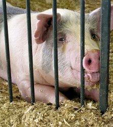 Еврокомиссия оценивает потери от запрета ввоза свинины в Россию в 580 млн евро