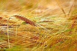 Международный Совет по зерну увеличил прогноз мирового производства зерна