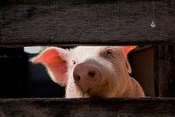 Россельхознадзор отозвал из Еврокомиссии предложения о возобновлении импорта свинины
