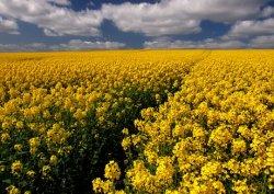 Хорошие перспективы мирового урожая продолжают способствовать снижению цен на зерновые и масличные