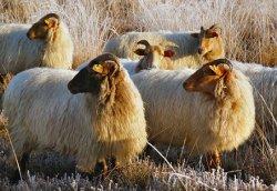 В Ленобласти впервые вывели новую породу овец