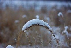 Ученые вывели новые сорта пшеницы, устойчивые к холодным зимам и летней засухе