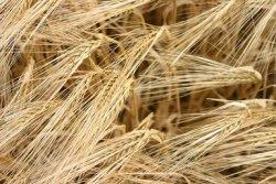 Россия через 10 лет станет третьим мировым экспортером зерна