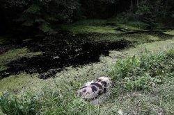 Экологи призывают к объединению международных усилий в борьбе с АЧС