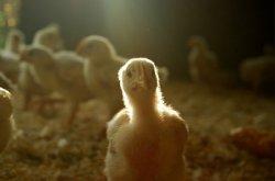 Великобритания утверждает непереработанный птичий помет в качестве топлива