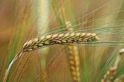 Противники ГМО могут остаться без хлеба