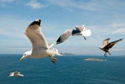 Ученые изучат роль чаек в распространении птичьего гриппа