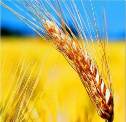 Ученые расшифровали геном пшеницы