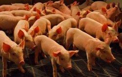 Минсельхоз предоставил данные по производству свиней на убой в первом полугодии 2014 года