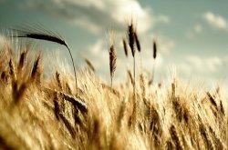 Изменение климата увеличивает риск замедления роста сельхозкультур