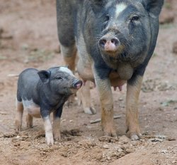 В Латвии собрались забить 40 тыс. свиней для предотвращения АЧС