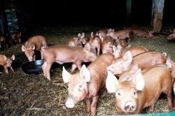 В США 60-80% свиней продолжают кормить рактопамином