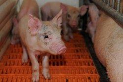 Дрожжи могут активизировать иммунитет у свиней