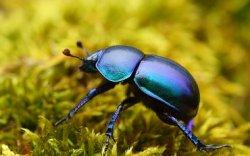 В Англии разводят навозных жуков для улучшения пастбищ