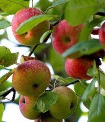Российские фермеры: Польские яблоки фурами идут через Белоруссию