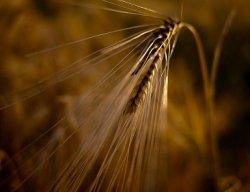 Россия стала одним из лидеров мирового экспорта зерна