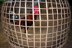 В Юго-Восточной Азии появился новый вирус птичьего гриппа