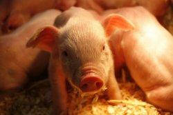 Великобритания: Лучшая производительность свиней обусловлена их содержанием в помещении