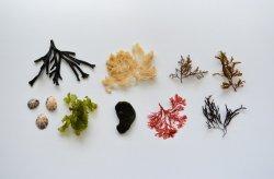 Морские водоросли обладают перспективной питательной ценностью