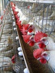 Экспорт мяса кур из Бразилии в Россию вырос за месяц на 12 тысяч тонн
