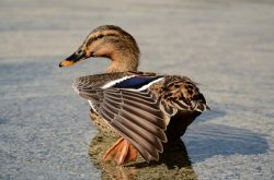 В Россию вернулся птичий грипп