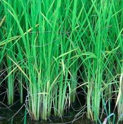 В Китае проведут эксперимент по выращиванию риса методом капельного орошения