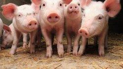 Свинина без антибиотиков