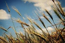 Российское зерно вытесняет американское с его традиционных рынков сбыта