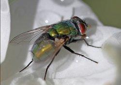 Ученые сомневаются в безопасности введения в рацион животных биомассы из личинок мух