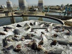 Антибиотики широко распространены в аквакультуре