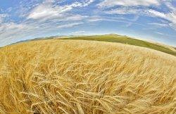 ФАО:Мировое производство зерновых упадет