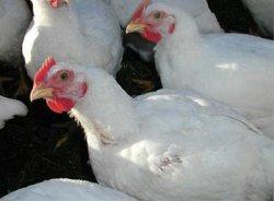 Россия увеличила производство мяса птицы