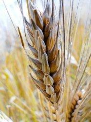Сибирские генетики выведут высокоурожайную и устойчивую к болезням пшеницу