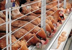 Китайские компании присоединяются к Казахстанскому проекту по птицеводству
