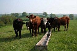 Российские ученые предложили кормить коров продуктами из природного газа
