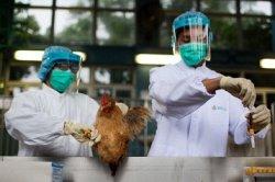 Распространение новых штаммов птичьего гриппа угрожает птицеводству