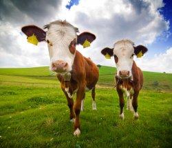 Анализ рынка скотоводства
