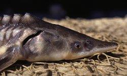 Ученые обсудили технологии выращивания молоди осетра в Балтийском море