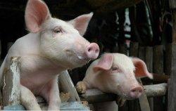 Игрушки для свиней – новая тенденция в свиноводстве