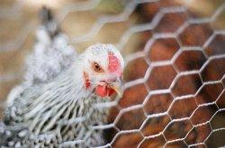 Россия запретила ввоз всех видов птицеводческой продукции из Великобритании