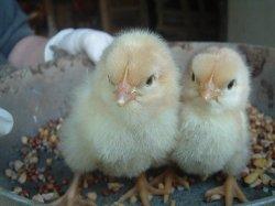Легкие однодневные цыплята нуждаются в более высокой температуре в начале жизни
