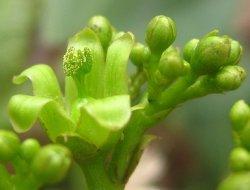 Растение ятрофа может быть пригодным для питания животных