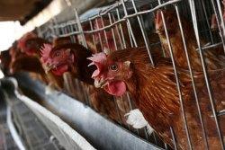 В Германии в корме для кур-несушек обнаружены следы ядохимикатов