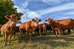 Органический цинк может ускорить восстановление мясных коров