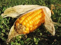 Сибирские ученые придумали лечить кукурузу от стресса с помощью древних бактерий