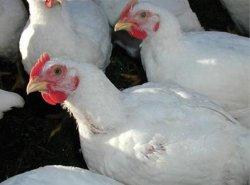 США предупреждают Южную Африку по поводу антидемпинговой политики в птицеводстве