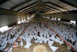 РФ нарастит производство мяса птицы