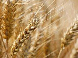 Аналитики прокомментировали ситуацию с зерном в России